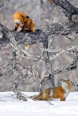 Лисички-сестрички