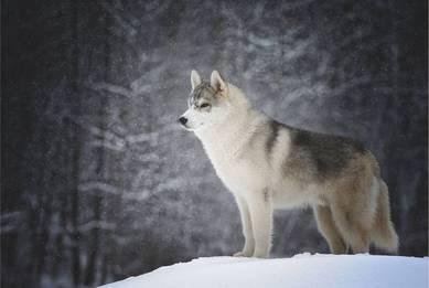 Сердце волка
