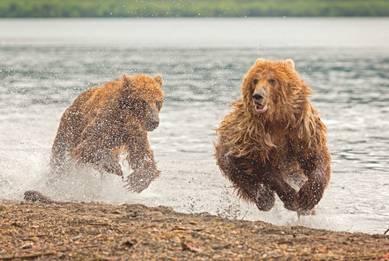 Медвежьи скачки